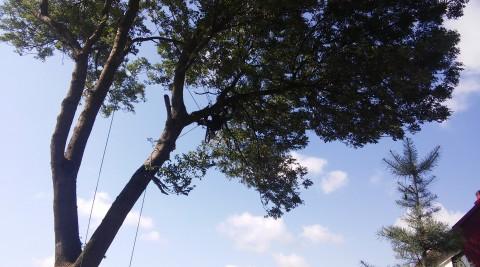 Przycinanie korony jesiona w Zwardoniu